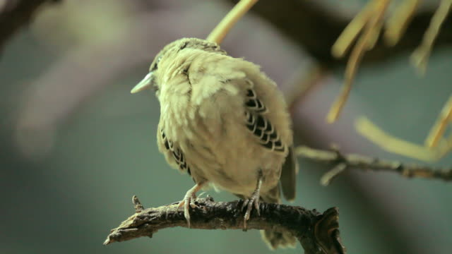 little afirican bird_Webervogel
