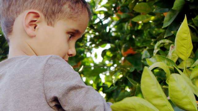Little Boy Picking Oranges