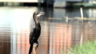 Little Cormorano su log