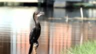Kleinen Cormorant auf log