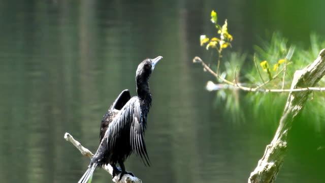 Little Cormorant standing on log