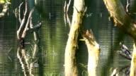 Kleinen Cormorant