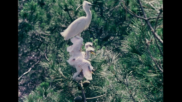 Little egret chicks in tree nest being fed feeding VS Fledgling balancing on limbs bantering w/ beaks hopping branches fallen fledglings lying on...