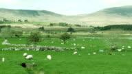 little di agnello e Pecora Madre-Irlanda
