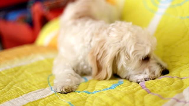 Little Poodle barking