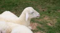 Kleinen Schafe Grasen auf einer farm ist