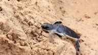 Little turtle clamber sand on the beach
