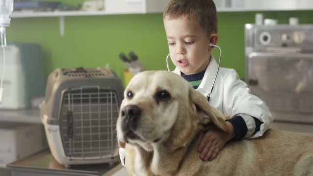 Little veterinarian and Labrador