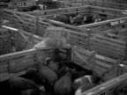 Livestock cattle cows in different pens in Omaha Union Stockyard cows chewing various workers buyers around pens cow looking around Cattle market...