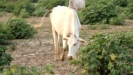 livestock white cows at farm