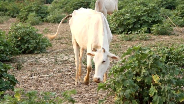 livestock white cows at farm