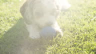 Living with Pets - A cockapoo miki cross breed chews a ball in the garden with lens flare