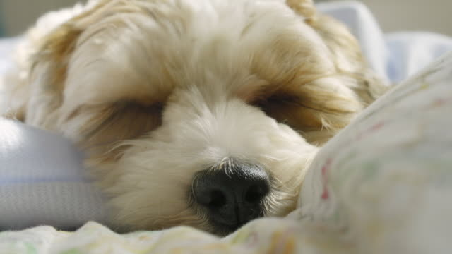 Living with Pets - A cockapoo miki cross breed wakes from sleep