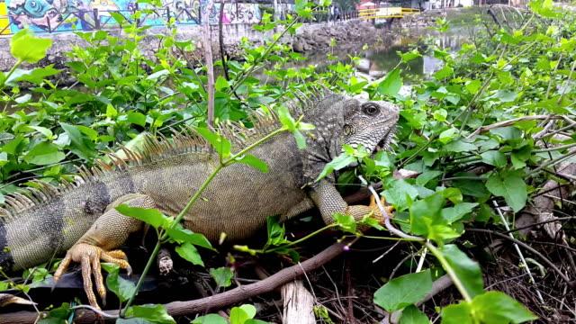 Lagarto en la ciudad de Montañita Ecuador