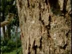 MS lizard landing on vertical tree trunk, Western Ghats, India
