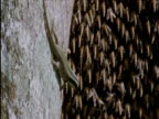 Lizard snatches giant bee from swarm