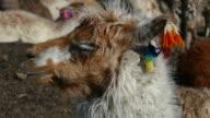 Llama Eating
