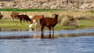 Llamas and alpaca grazing along a watercourse, Bolivia, Salar de Uyuni
