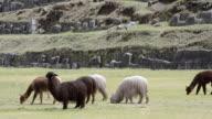 MS Llamas eating grass / Cuzco or Cusco, Peru