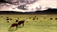 Llamas graze on a praire, Bolivia Available in HD.