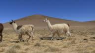 Llamas Walking
