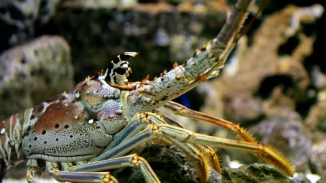 Lobster 102 - HD 30P