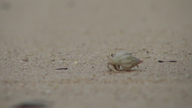 Lock Down of A Small Hermit Crab Walking at the Seashore