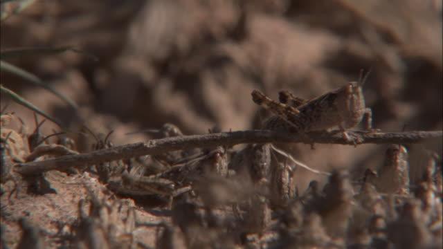 Locusts hop around a dry twig.
