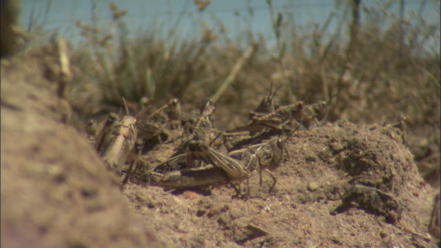Locusts rest on a dirt mound amid a hopping swarm.
