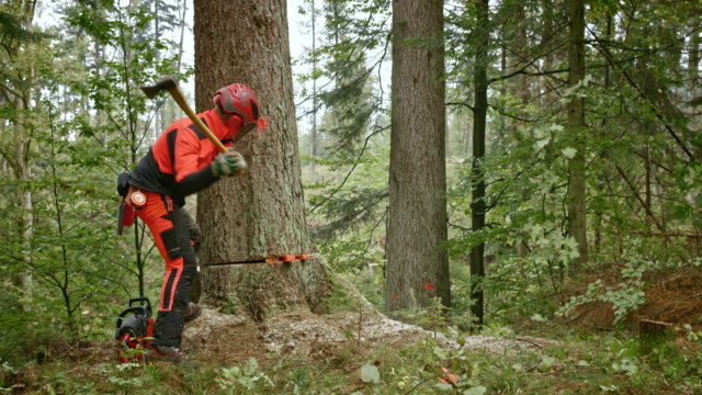 SLO MO Logger felling a tree using wedges