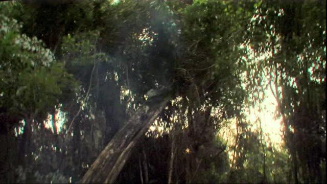 MS TD Logger felling tree, Peru