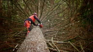 Logger removing branches from fallen tree