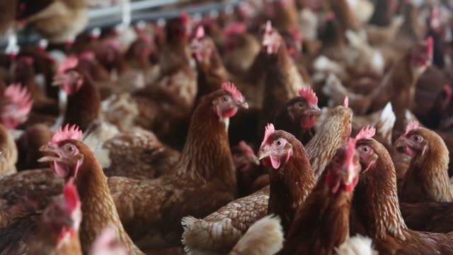 Lohmann Brown chickens stand in a barn at Meadow Haven Farm a certified organic family run farm in Sheffield Illinois US on Tuesday Aug 4 2015 US...