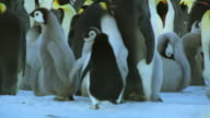 Lone Adelie penguin runs at huge chicks in middle of Emperor penguin colony