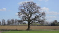 MONTAGE Lone oak tree changing with each season / St. Albans, Hertfordshire, United Kingdom