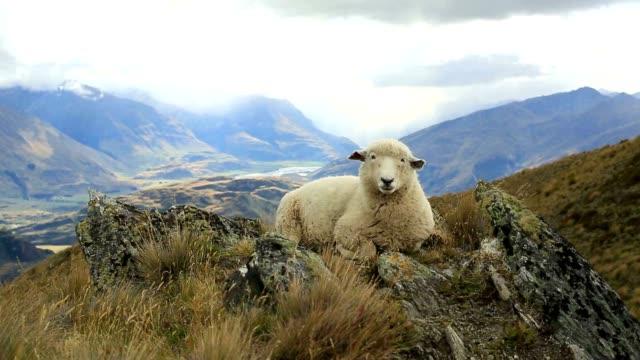 Lone schapen ligt op de bergrug