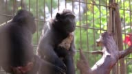 A lonely monkey at an Israeli zoo has found a way to soothe her maternal urges by adopting a chicken
