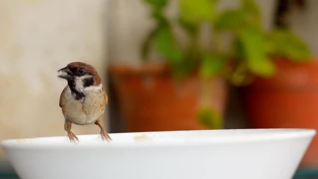 lonely Tree Sparrow on bowl
