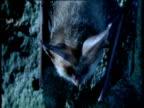 Long eared bat on wall looks around, then flies away, UK