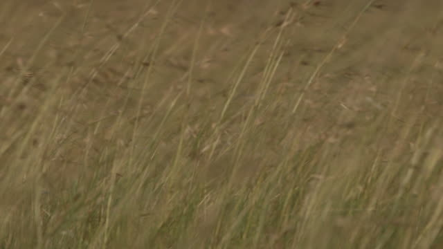 Long grass blowing in the wind comes into focus, Tanzania.