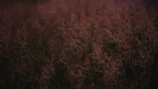Langen Rasen weht im Wind, wie die feuerroten Sonnenuntergang Licht alles im Blick trifft. Diese Aufnahme wurde gemacht, als Grafik oder Logo Platte verwendet werden.