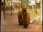 Long haired Alpacas walking in zoo farm, Peru