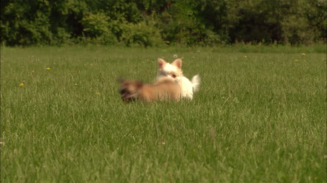 MS, PAN, CU, Long haired chihuahua puppy and mixed breed puppy running in grass