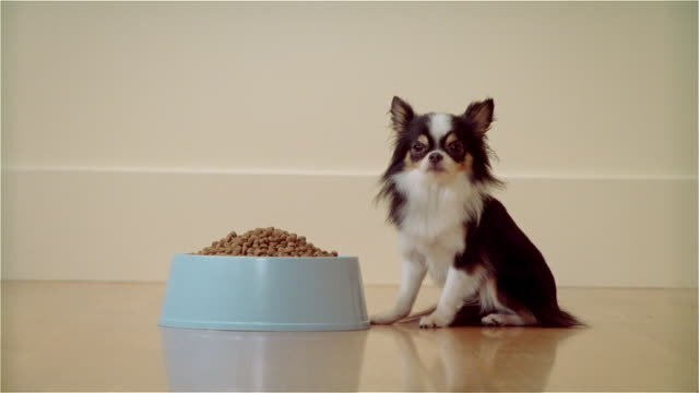 MS, Long haired Chihuahua sitting at bowl of food