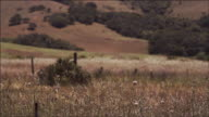 Long lens shot, camera pans, shifts focus, gentle breeze blows tall grass, rolling hills, Northern California, beautiful Spring day