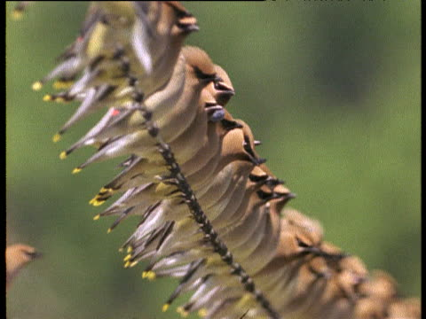 Long line of waxwings perch on wire in blueberry field, Florida