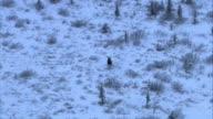 Long Shot aerial push-in tracking-left - A moose lopes across snowy Alaskan terrain. / Alaska, USA