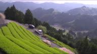 Long shot: Bird's-eye view: Tea growers harvesting tea leaves in a tea field, Shizuoka, Japan