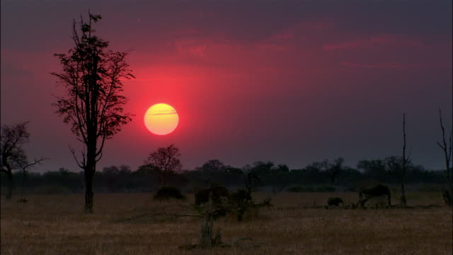 Long shot elephants and zebras walking in bush at sunset / South Luangwa National Park / Zambia
