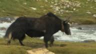Long Shot Follow Shot Yak Walking Near River Lhasa Tibet China